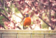 4th May 2020 - Mama Robin