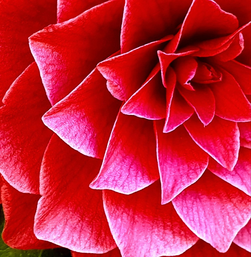 Camellia close-up by pea