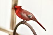 5th May 2020 - Cardinal close up