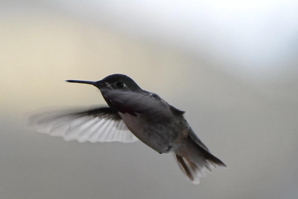 Hummingbird by bjywamer