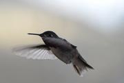 5th May 2020 - Hummingbird
