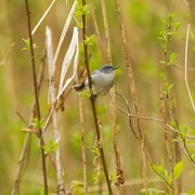 5th May 2020 - Blue-gray gnatcatcher