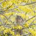 Who's hiding in the Forsythia Bush by fayefaye