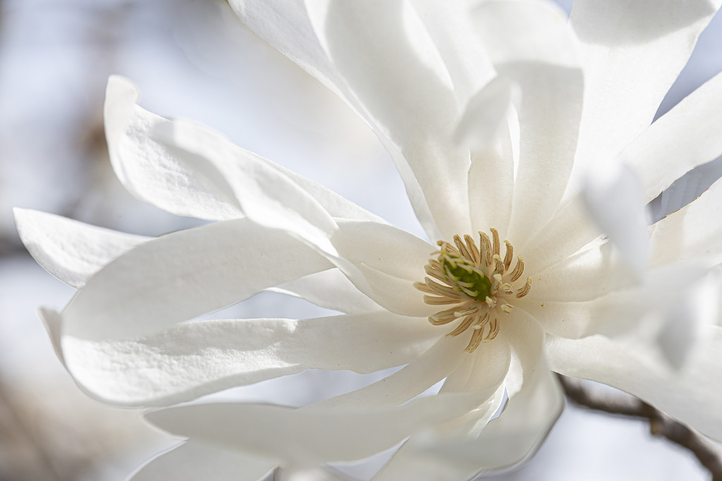 Star Magnolia by pdulis