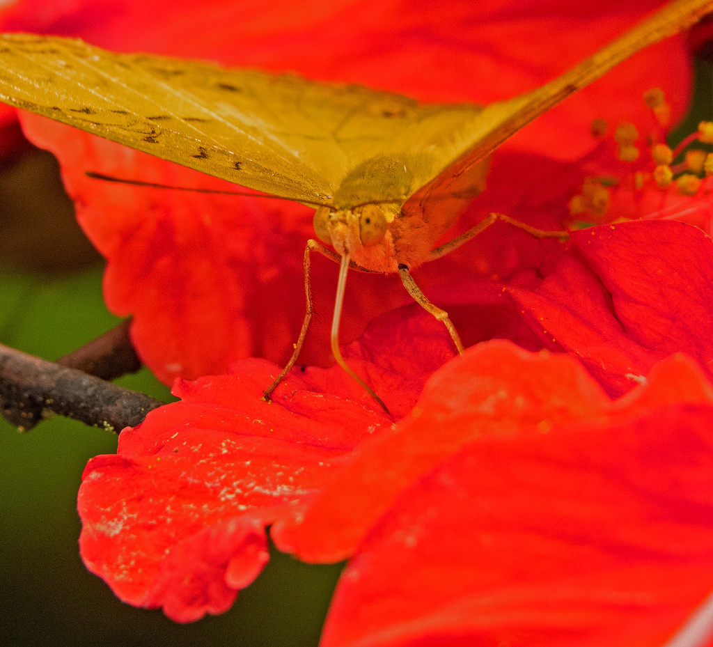 Butterfly on Hibiscus by ianjb21