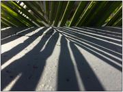 31st Jan 2020 - Palm Shadows