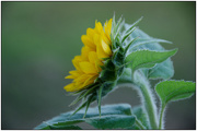6th Feb 2020 - Sunflower