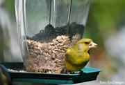 6th May 2020 - Greenfinch
