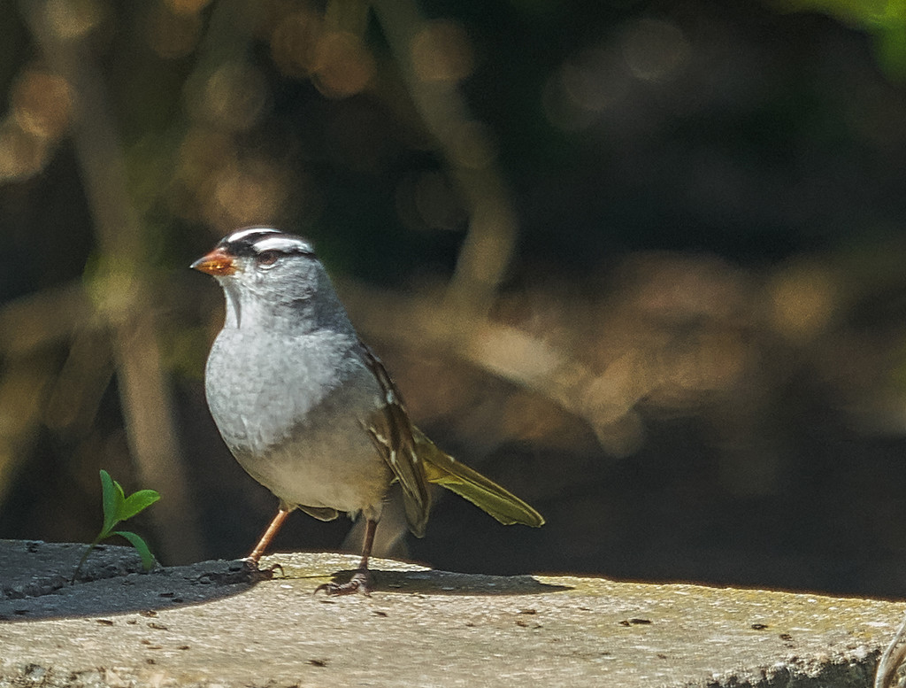 White Crowned Sparrow by gardencat