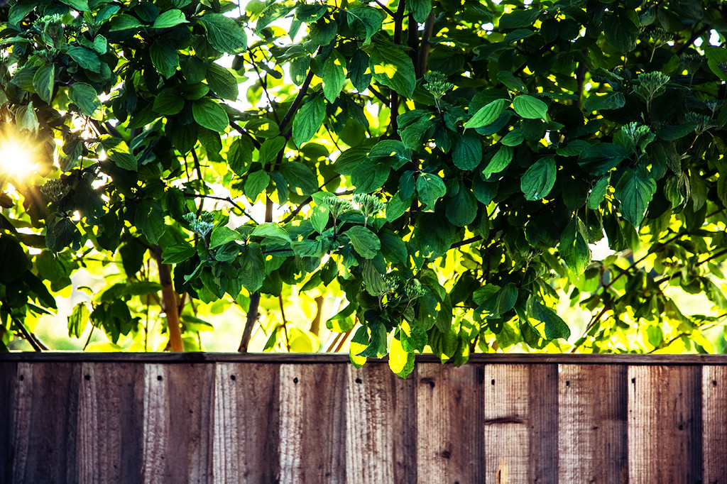 Over the fence by pea