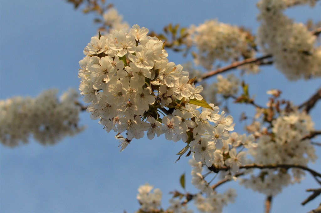 Cherry Blossom by gemmabrowne