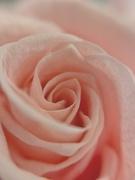 8th May 2020 - Rose.