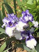 5th May 2020 - Purple trimmed Iris