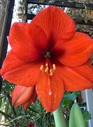 5th May 2020 - Survival of an Amaryllis