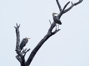 6th May 2020 - Herons on High