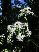 6th May 2020 - Cow parsley