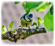 7th May 2020 - Sweet Little Blue-tit