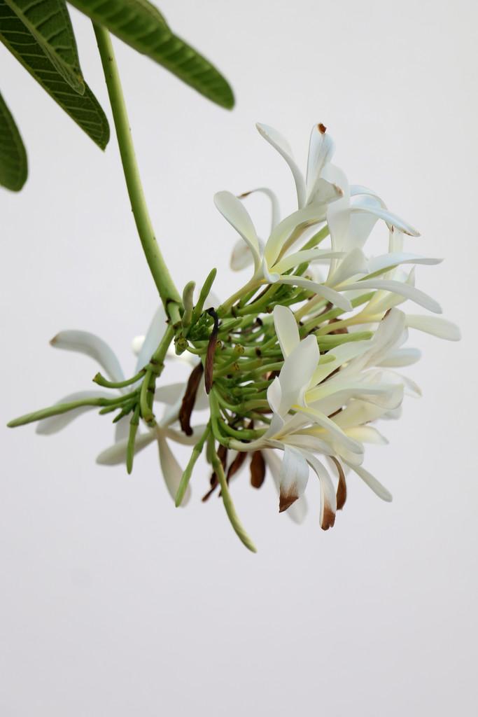 Frangipani flowers by ingrid01