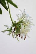 7th May 2020 - Frangipani flowers