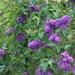 Lilac bush by mittens