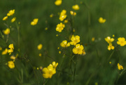 7th May 2020 - Buttercups