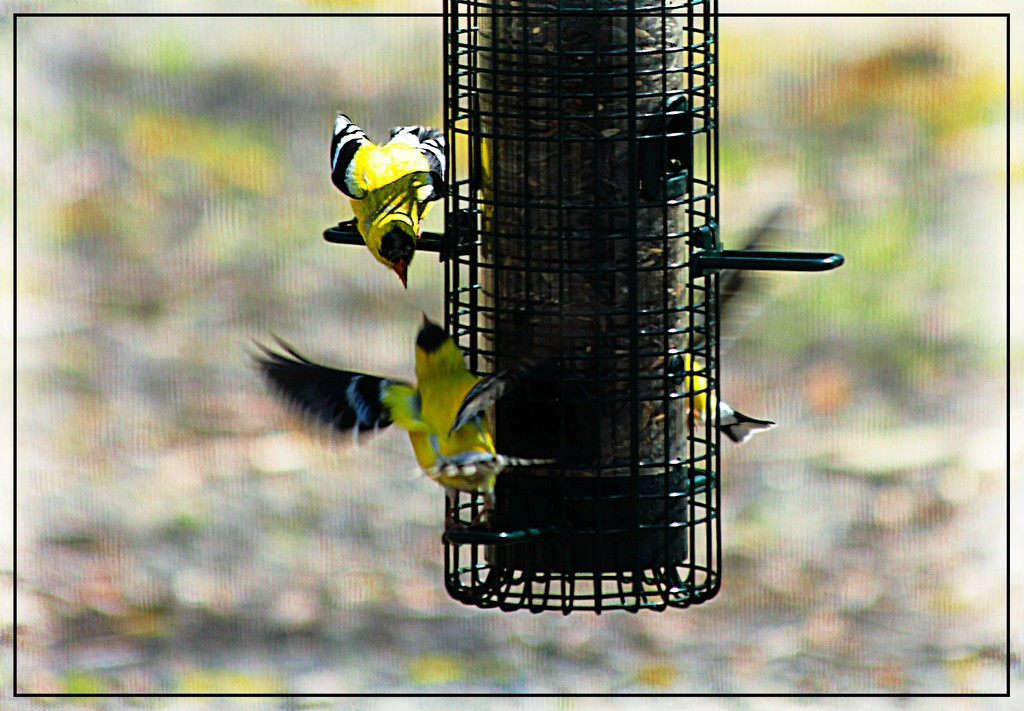Goldfinches at the Bird Feeder 2 by olivetreeann