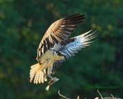 7th May 2020 - LHG-4608-Ospreys morning offering