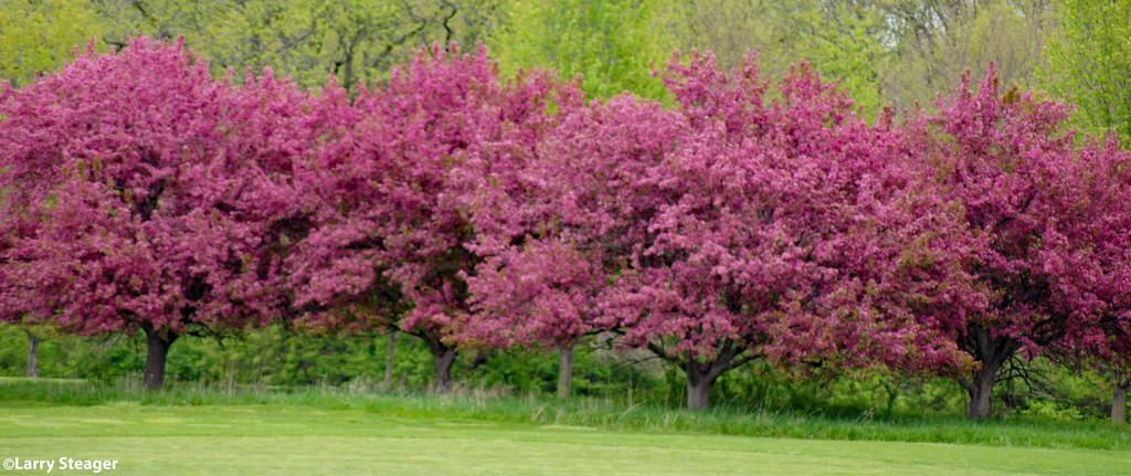 Eastern Redbud tree by larrysphotos