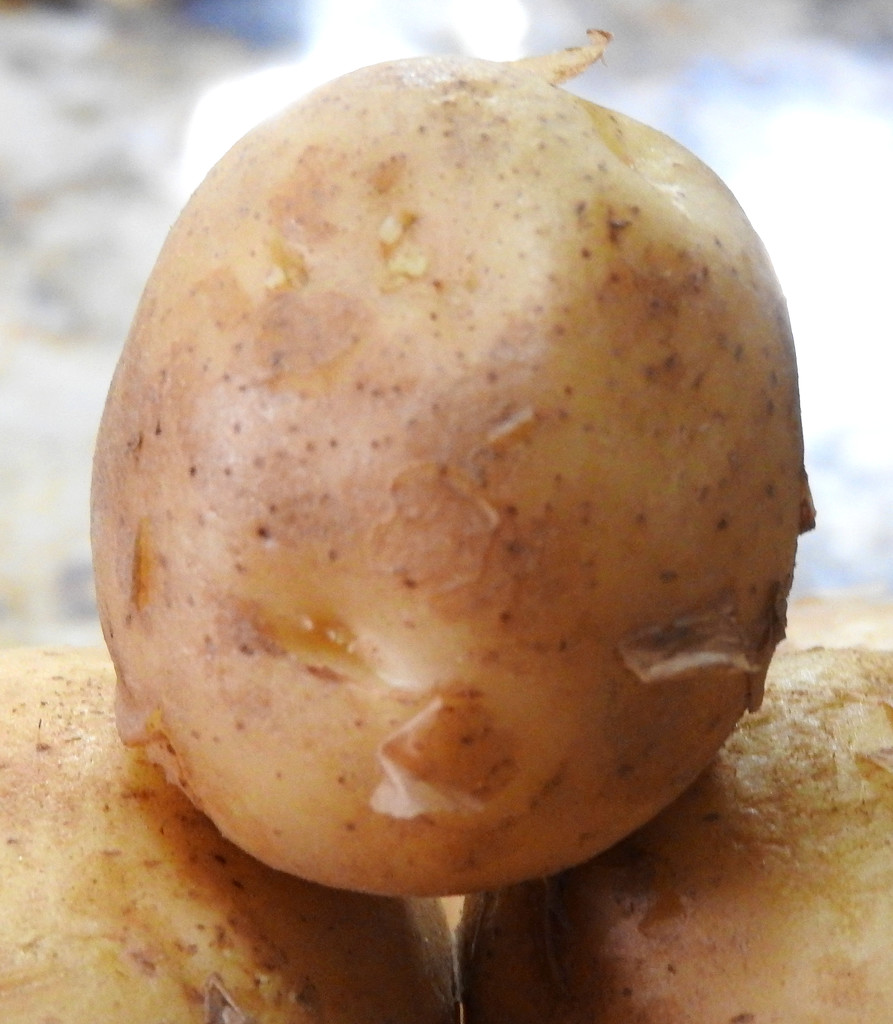 A Baby Potato by homeschoolmom