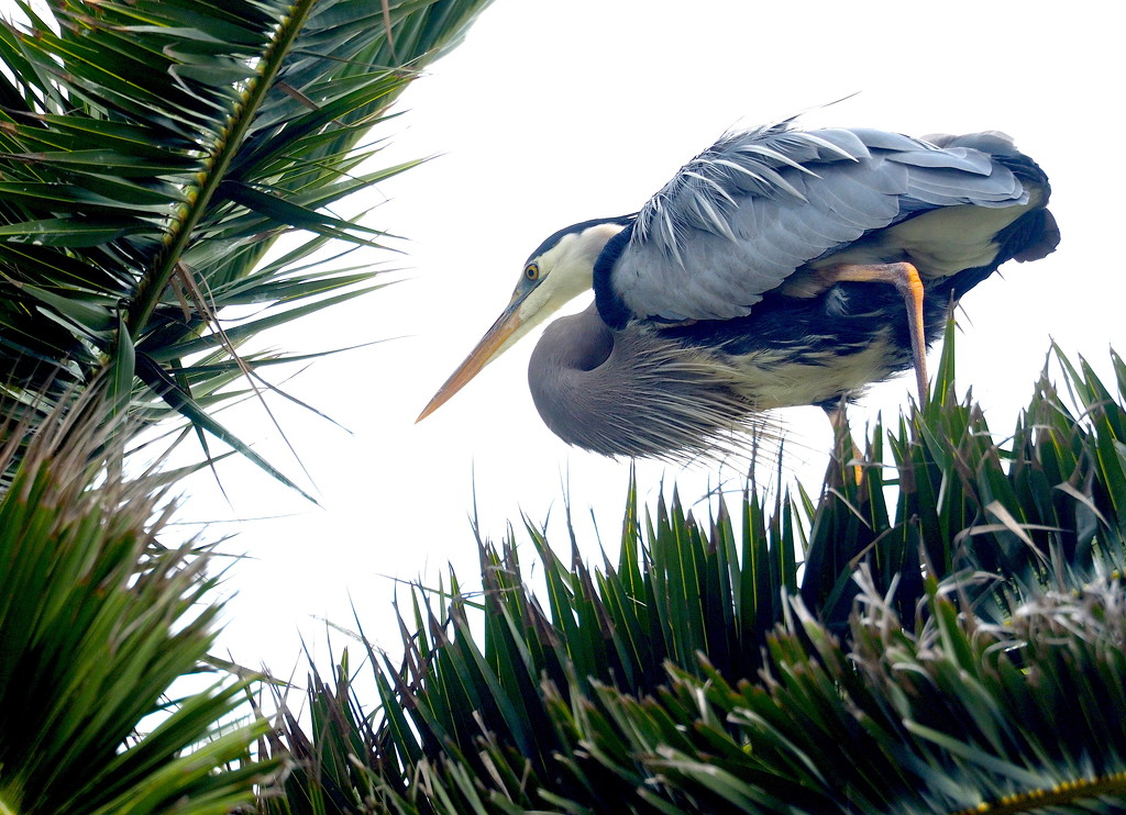 Crouching Heron by redy4et