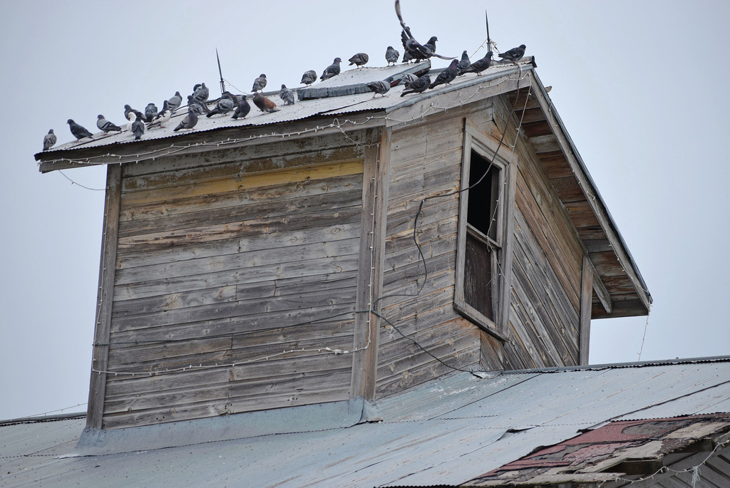 Pigeons' Favored Roosting Place by bjywamer