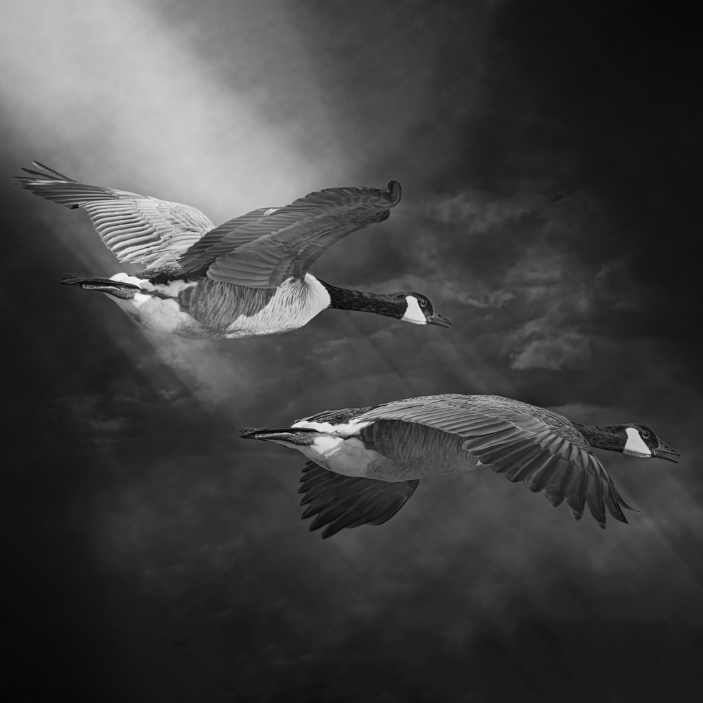 Geese Flyby by mikegifford