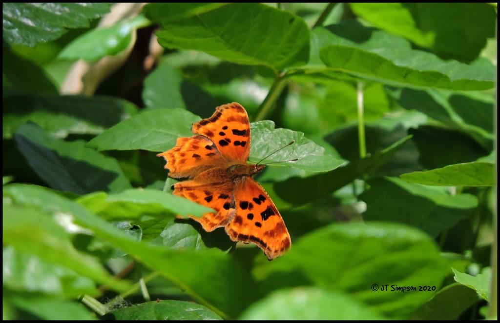 Comma Butterfly... by soylentgreenpics