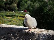 8th May 2020 - Pigeon posing