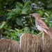 Brown Thrasher Parent with Dinner Ready