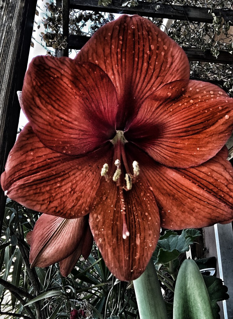 Survival of an Amaryllis  by caterina
