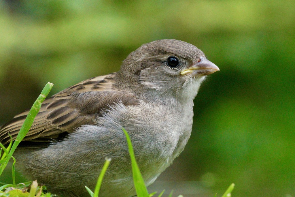 BABY SPARROW by markp