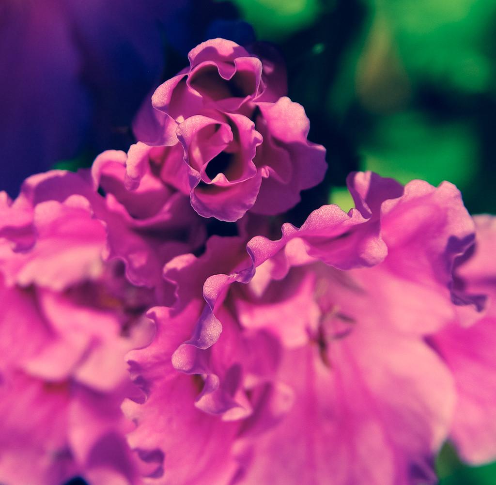 (Day 84) - Azaleas  by cjphoto