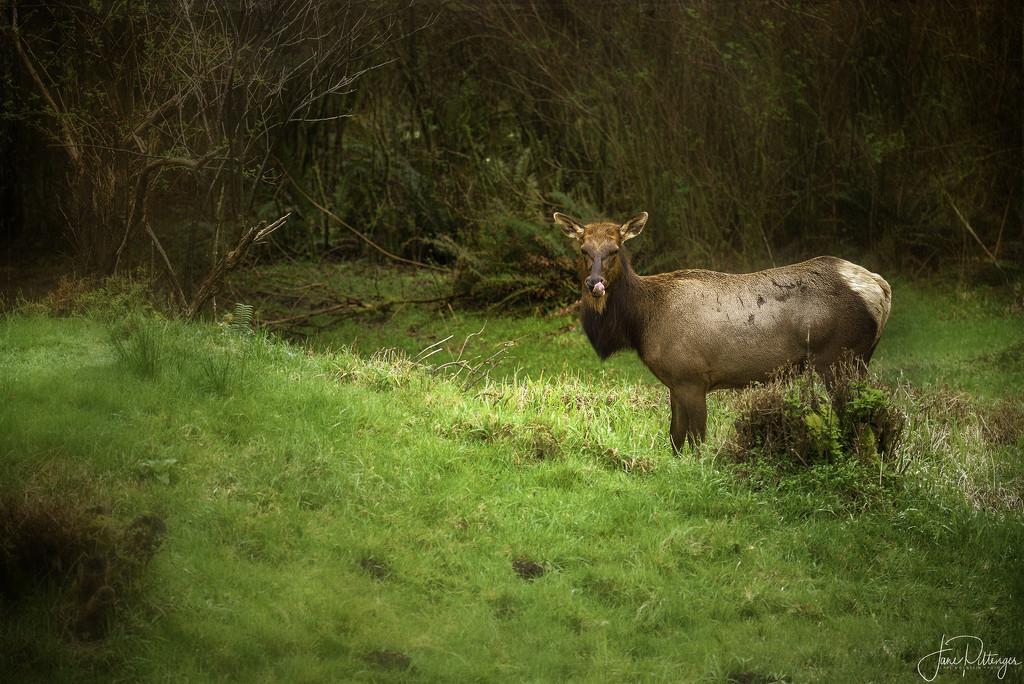 Pregnant Elk for Textures  by jgpittenger