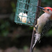 Red-bellied Woodpecker #2