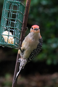 8th May 2020 - Red-bellied Woodpecker #1