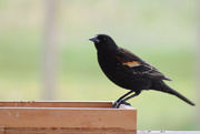 8th May 2020 - Red-Winged Blackbird