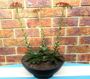9th May 2020 - One of my fav Succulent is flowering