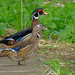 Wood Ducks on Wood by tosee