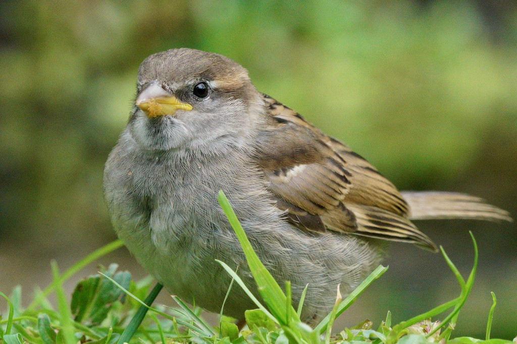 BABY HOUSE SPARROW - TAKE TWO  by markp