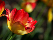 8th May 2020 - Tulip Time