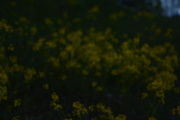 9th May 2020 - Moody rapeseed