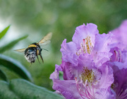8th May 2020 - Bee late
