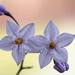 Solanum jasminoides by yorkshirekiwi