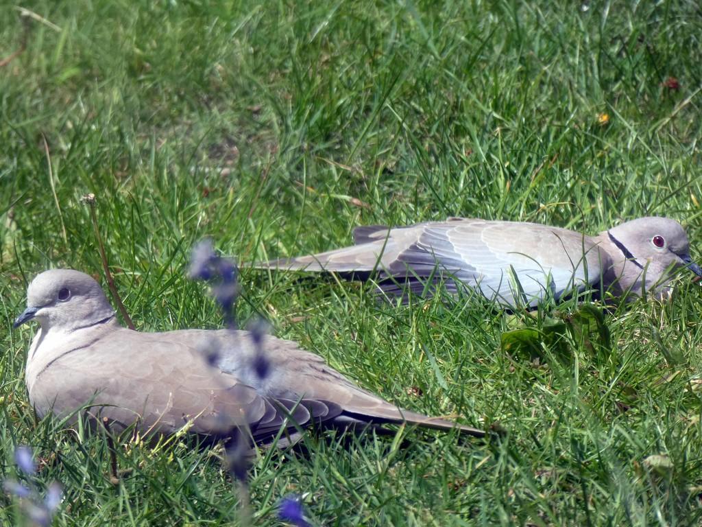 Sunbathing Doves by cmp